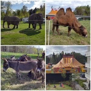 Någon dag om året får vi i vanliga fall besök av en cirkus som parkerar sig med sina exotiska djur precis utanför vår innergård.